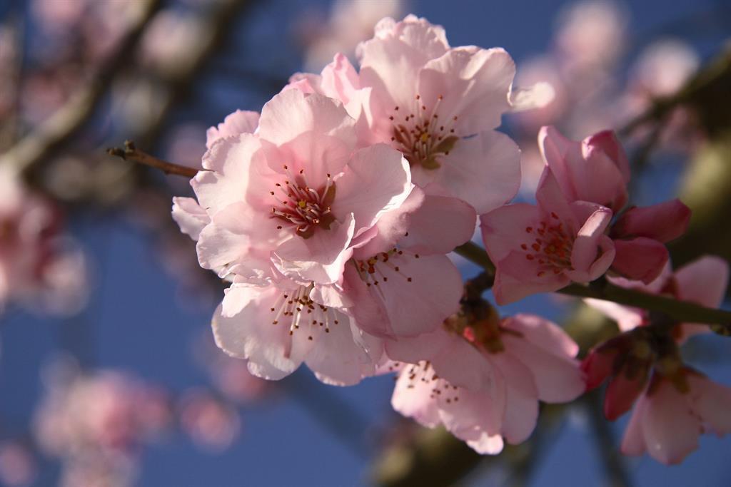Mandelblüte neu klein