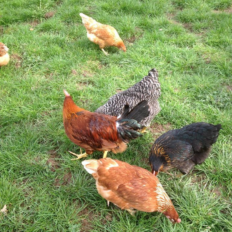 Unsere Hühner sorgen für frische Eier beim Frühstü